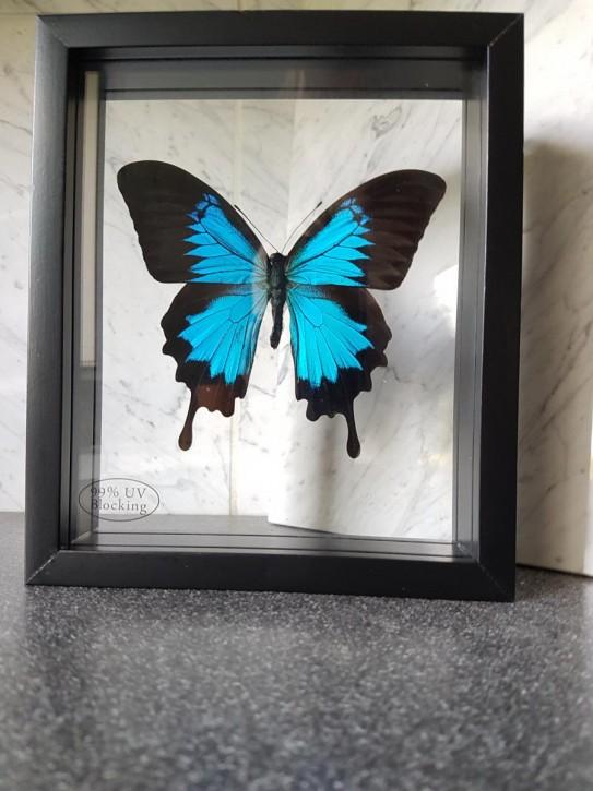 Papilio Ulysses Schwalbenschwanz Schmetterling Schaukasten beidseitig UV- Glas