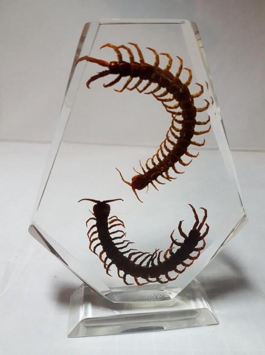 Zwei echte Hundertfüsser Centipede Präparat in Kunstharz Acrylblock