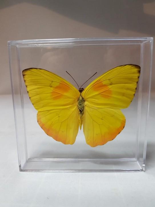 Phoebis philea - Orange-Gebänderter Schwefelfalter