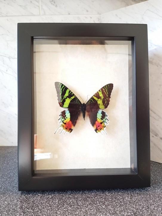 Chrysiridia ripheus Schmetterling Schaukasten vorderseitig UV-Glas