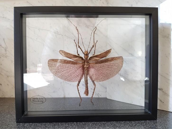 Heteropteryx dilatata / Malaiische Riesengespenstschrecke Schaukasten beidseitig UV-Glas