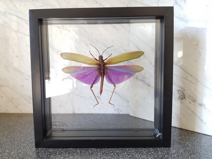 Titanacris albipes / Heuschrecke Schaukasten beidseitig UV-Glas