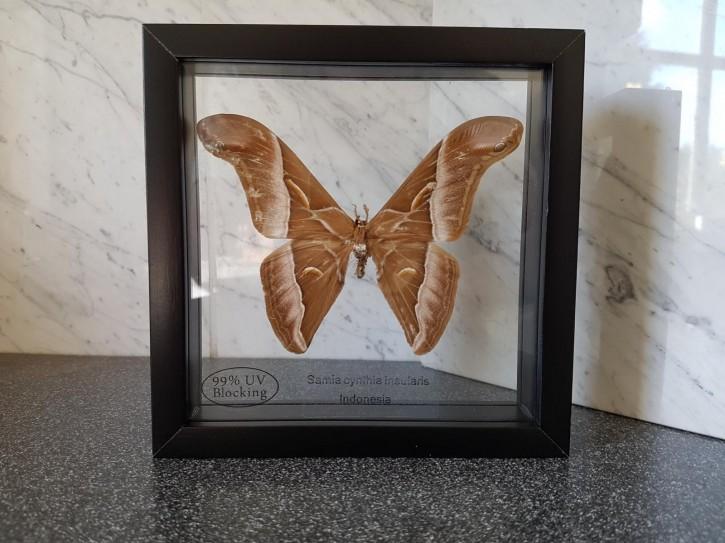 Samia cynthia Schmetterling Schaukasten beidseitig UV-Glas