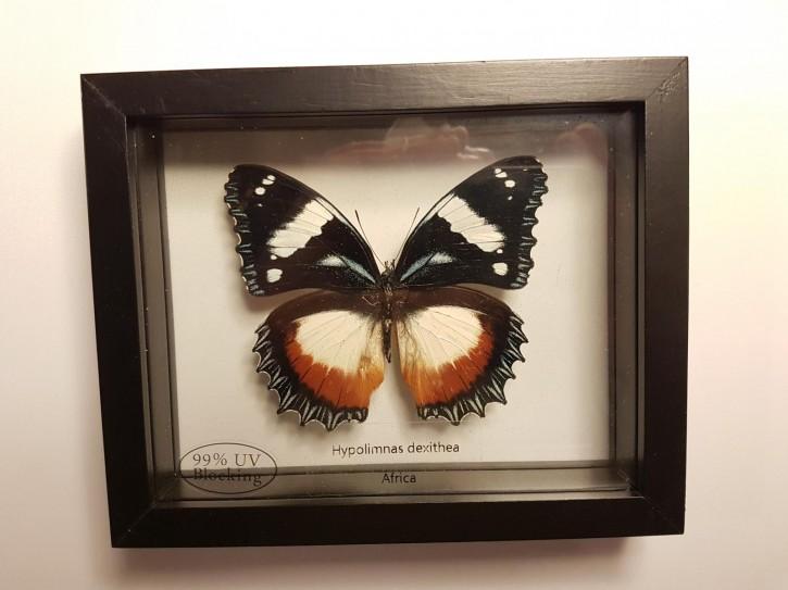 Hypolimnas dexithea Wunderschöner Schmetterling, Beidseitig UV- Schutzglas- Rahmen