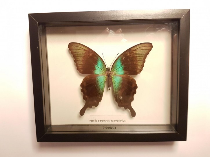 Papilio peranthus adamanthius Wunderschöner Schmetterling, Beidseitig UV- Schutzglas- Rahmen