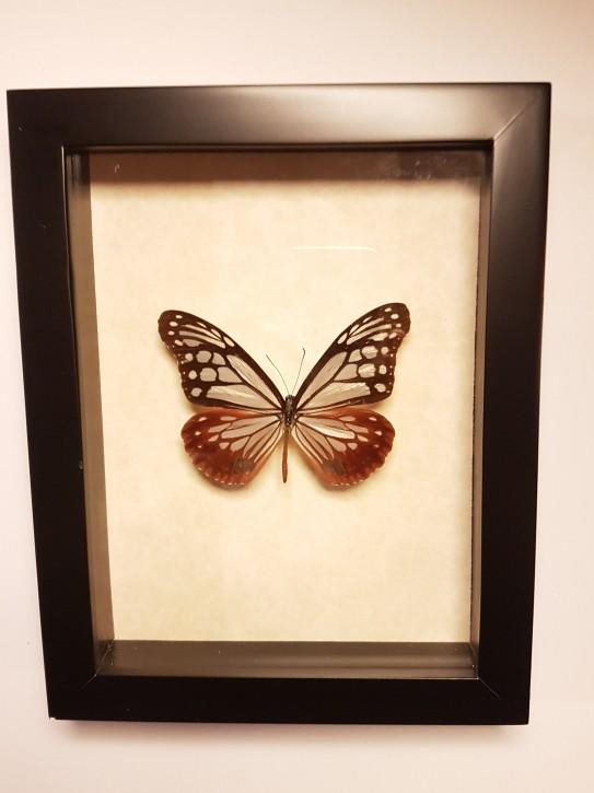 Parantica sita Wunderschöner Schmetterling, Beidseitig UV- Schutzglas- Rahmen