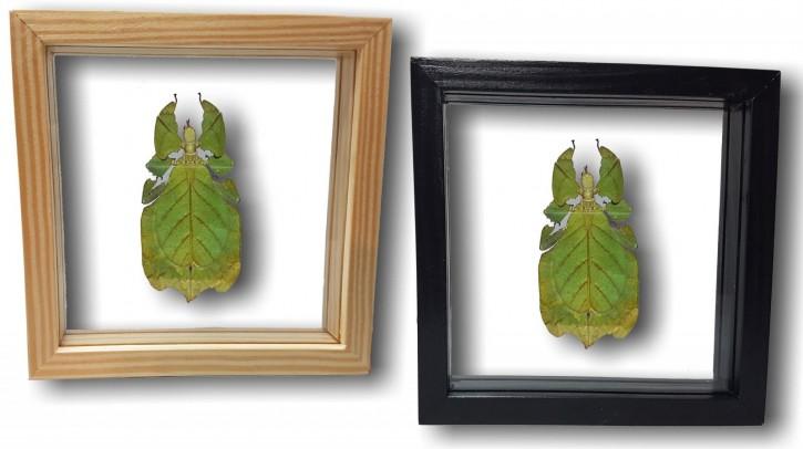 Phyllium bioculatum / Wandelndes Blatt Schaukasten beidseitig UV-Glas