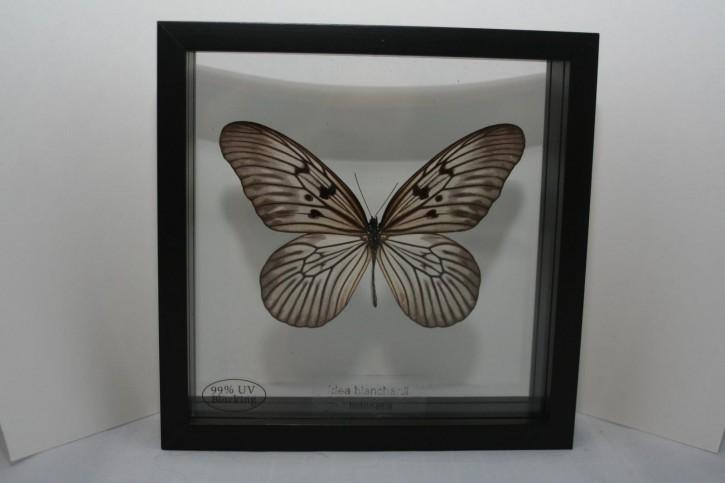 Idea blanchardi Wunderschöner Schmetterling,beidseitig UV- Schutzglas Holzrahmen