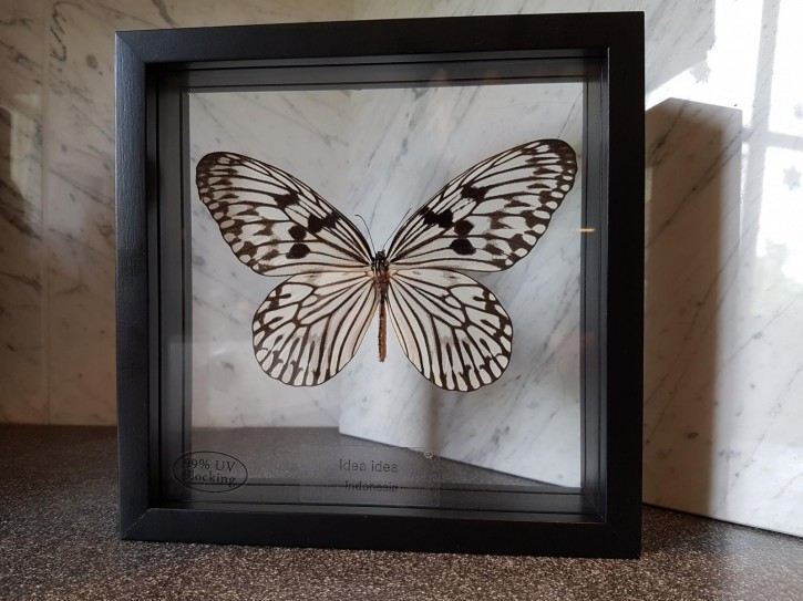 Idea idea / Linnaneus' idea Wunderschöner Schmetterling in verglastem Rahmen