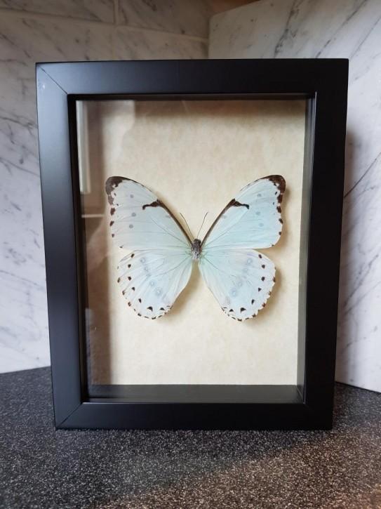 Morpho Epistrophus Catenaria Wunderschöner Schmetterling in verglastem Rahmen