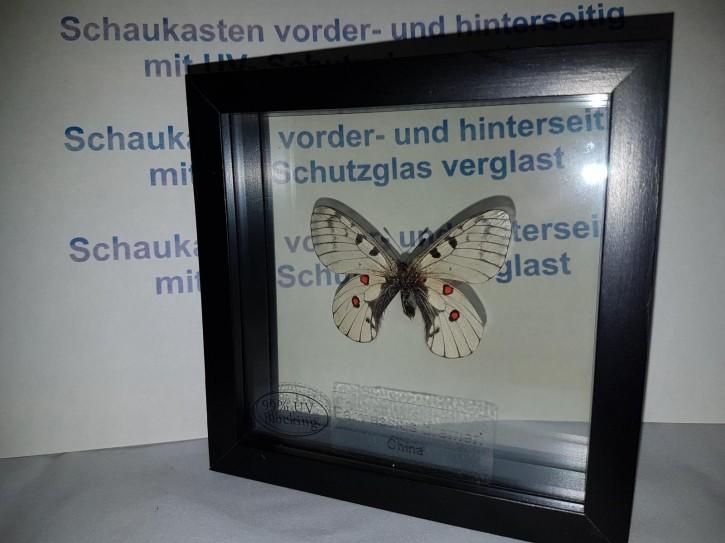 Parnassius Bremeri Wunderschöner Schmetterling,Beidseitig UV- Schutzglas- Rahmen