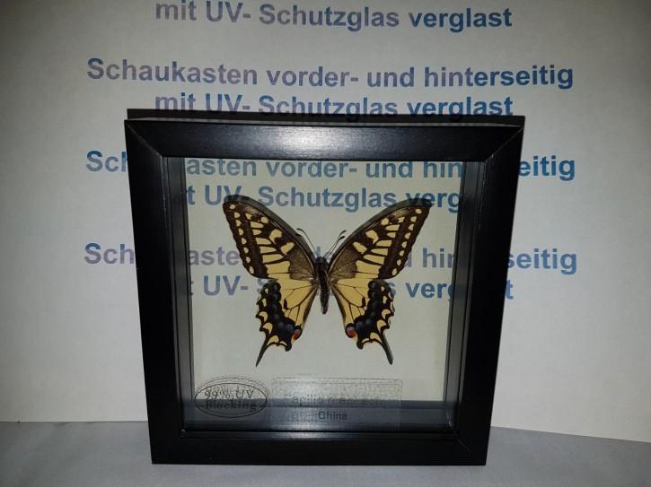 Papilio Machaon Schwalbenschwanz Wunderschöner Schmetterling, Beidseitig UV- Schutzglas- Rahmen