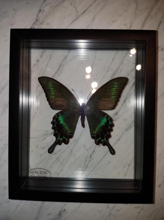 Papilio Maackii Wunderschöner Schmetterling, Beidseitig UV- Schutzglas- Rahmen