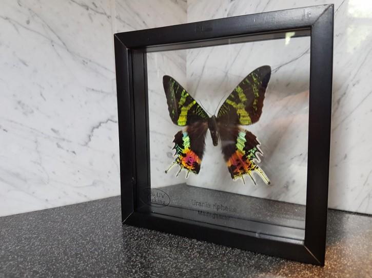 Urania Ripheus Chrysiridia Rhipheus Schmetterling Schaukasten beidseitig UV-Glas