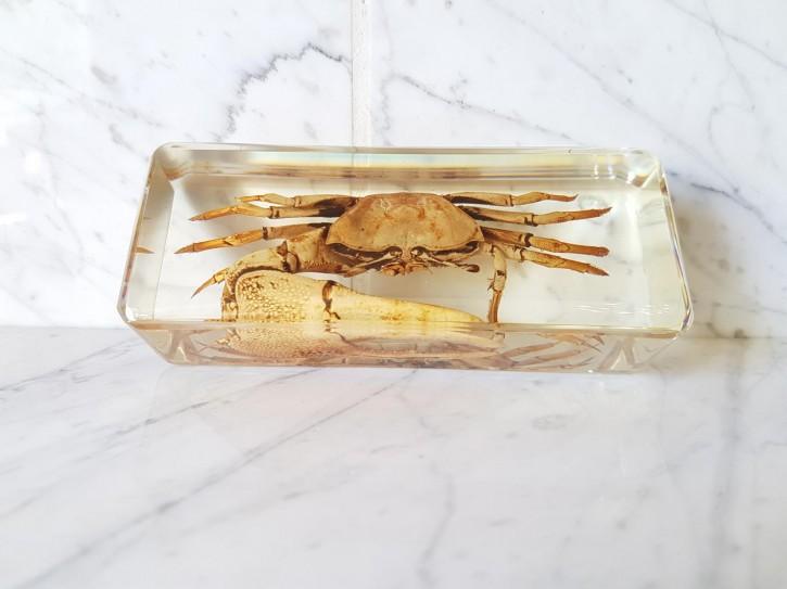 Echte Krabbe Winkerkrabbe Präparat in Kunstharz