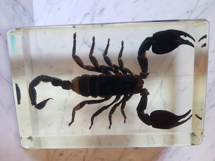 Riesiger Skorpion Echter Skorpion Präparat in Kunstharz Acrylblock