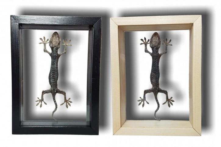 Gekko gecko / Tokeh - Tokee Schaukasten beidseitig UV-Glas 140 - 170 mm
