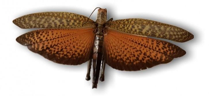 Große Heuschrecke - Tropidacris dux im Flug