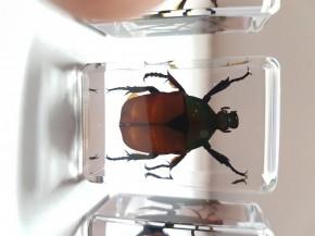 Echte Käfer, Sammler-Set Präparate in Kunstharz