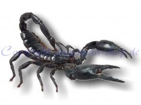 Schwarzer Laos-Skorpion - Heterometrus laoticus im großen Schaukasten