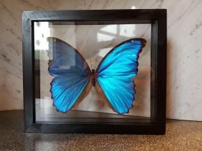 Morpho didius Wunderschöner Schmetterling,Beidseitig UV- Schutzglas- Rahmen
