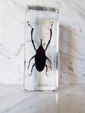 Rüsselkäfer Präparat in Kunstharz Otidognathus Davidis